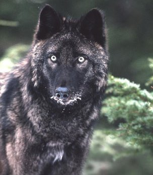 POW wolf management recommendations released